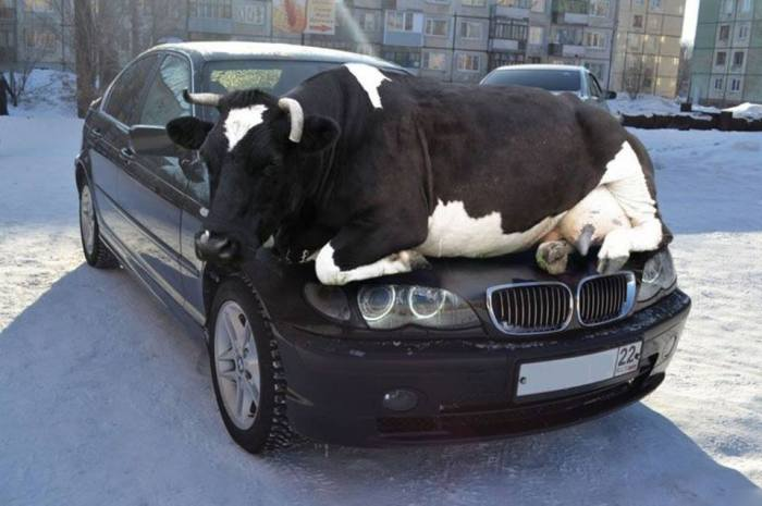 """REMINDER: Cold season is here and cows seek heat on car hoods. Do not forget to tap on the hood to give the cow enough time to get off before you drive away!"""