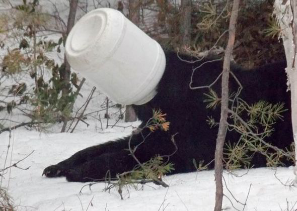 4-22-2014: Ontario, Canada - The bear became trapped as it searched for a snack [CATERS]