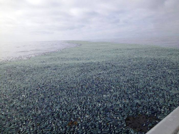 8-24-2014: A mind-blowing swarm of Velella velella - relatives of jellyfish - appeared off the coast of Washington state in the US last week, and researchers aren't entirely sure why...