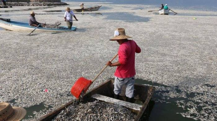 9-1-2014: At least 48 tonnes (equal to 52.9 U.S. tons) of fish have turned up dead in a lagoon in western Mexico and authorities are investigating whether a wastewater treatment plant is to blame.